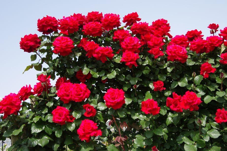 横浜岡村公園の赤いバラ