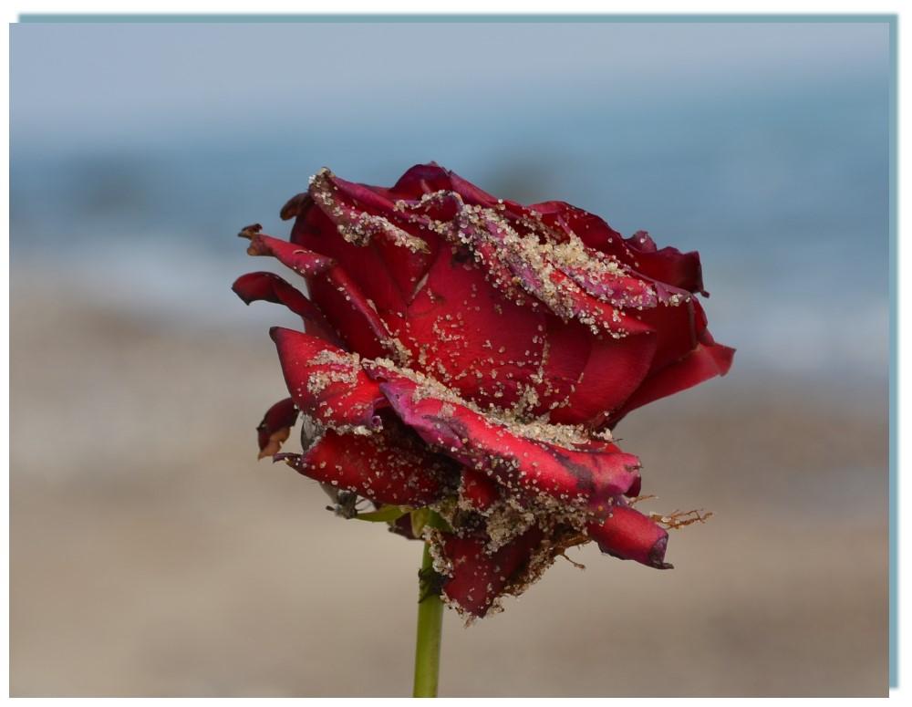 Du warst meine Rose ...