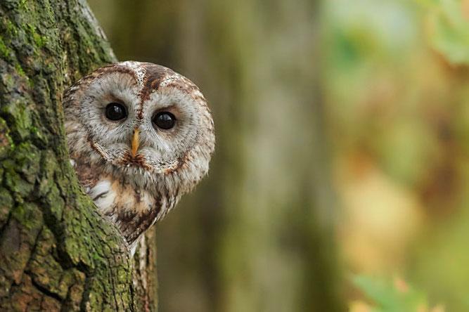 Der Waldkauz- Vogel des Jahres 2017 - Foto: NABU/Peter Kühn
