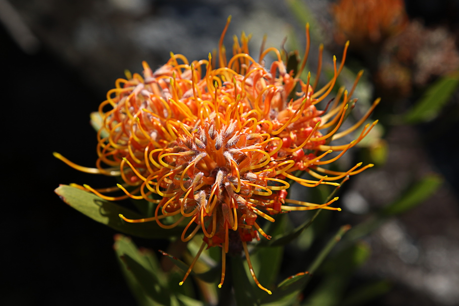 Leucospermum conocarpodendron, Nadelkissen