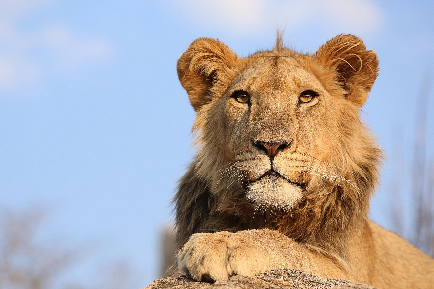 Löwe im Antelope Park, Zimbabwe