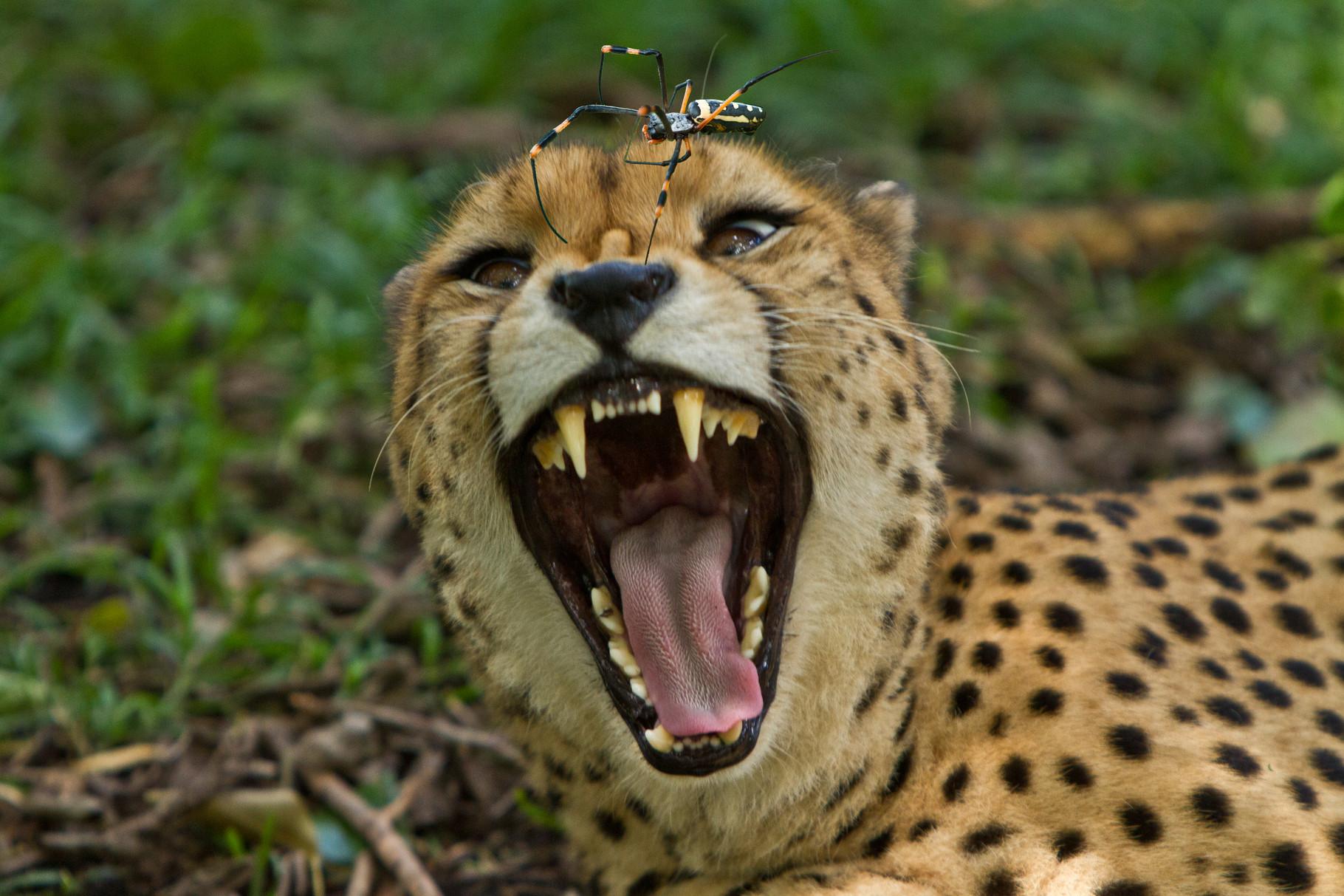 Gepard und Seidenspinne