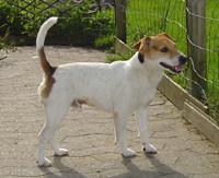 Ururgroßvater: Navarras Tummeliten-Danish-Swedish-Farmdog-dänischer Bauernhund-dänischer Landhund