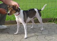 Ururgroßmutter: Mille-Danish-Swedish-Farmdog-dänischer Bauernhund-dänischer Landhund