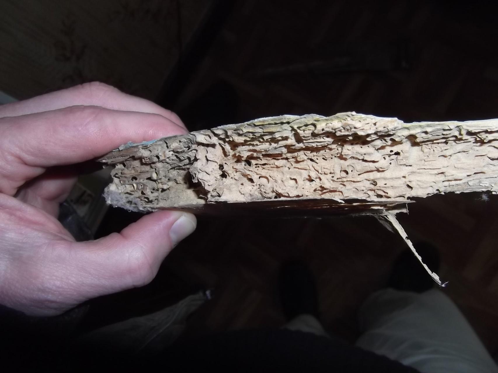 Habitation individuelle ancienne : lambris dégradé par attaque dite biologique (5)