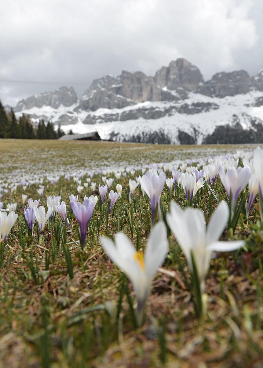Krokusblüte am Rosengarten, Südtirol