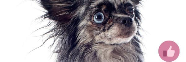 blauer chihuahua, chihuahua, welpejn,cda hund, dilute gen