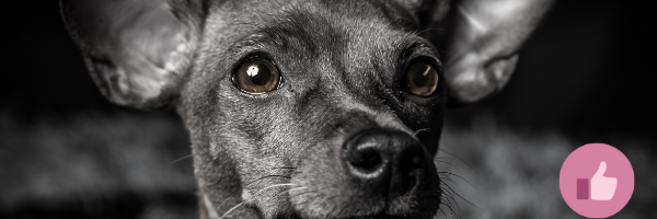 Chihuahua Gizmo mit CDA