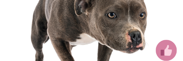 blueline pitbull, blueline, cdahund, bluedobermannsyndrom
