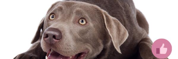 charocal labrador, silver labrador, cda labrador, cda hund, blauer labrador