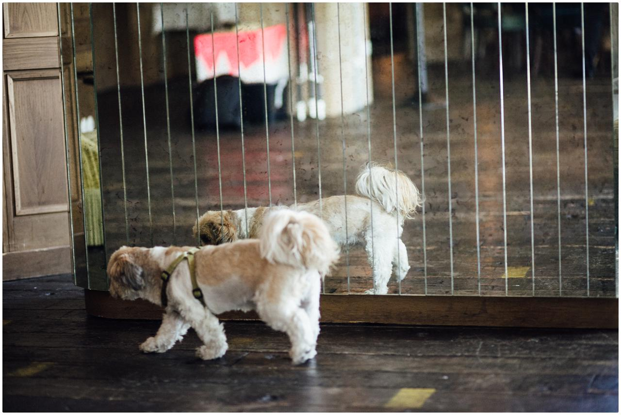 Ein kleiner weißer Hund läuft an einer Spiegelwand vorbei