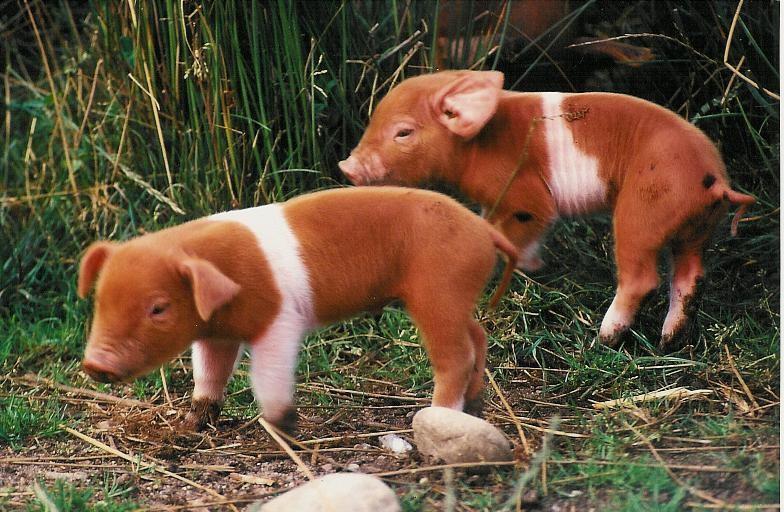 Rotbuntes Husumer Schwein (bedroht)