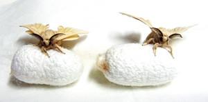カイコの英名は「Silkworm」絹の虫です。蚕という漢字を天の虫と読んで大切にしておられる方々もおられます。カイコは、私たち人間に非常に有用な物質を贈ってくれる不思議な昆虫です。