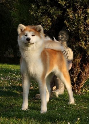 Порода собак аттика фото