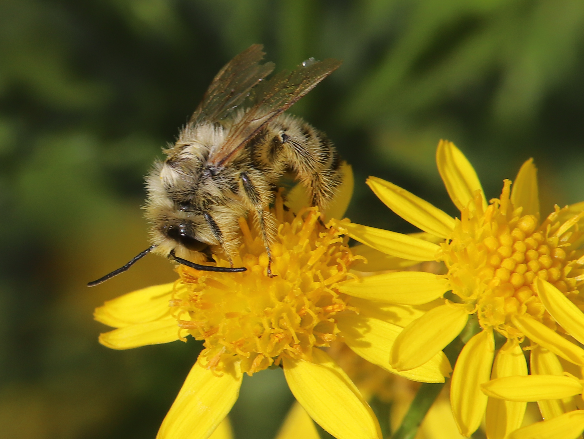 Foto: Friedhelm Hopmann; Raufüßige Hosenbiene