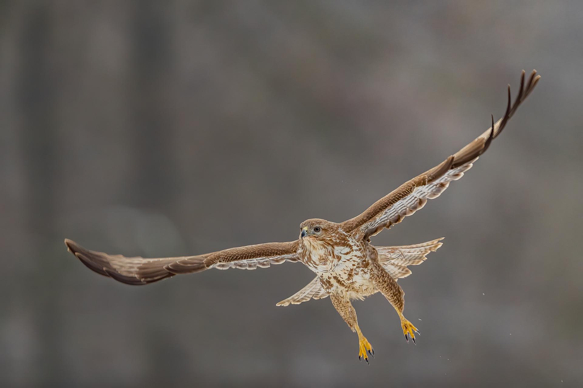 Buteo Buteo lautet sein wissenschaftlicher Name. Foto: Eric Dienesch