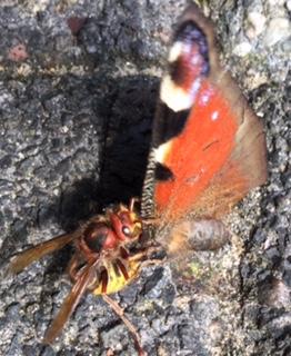 Manche Hornissen haben sich auf Schmetterlinge spezialisiert. (Foto: Heinz Hennekes)