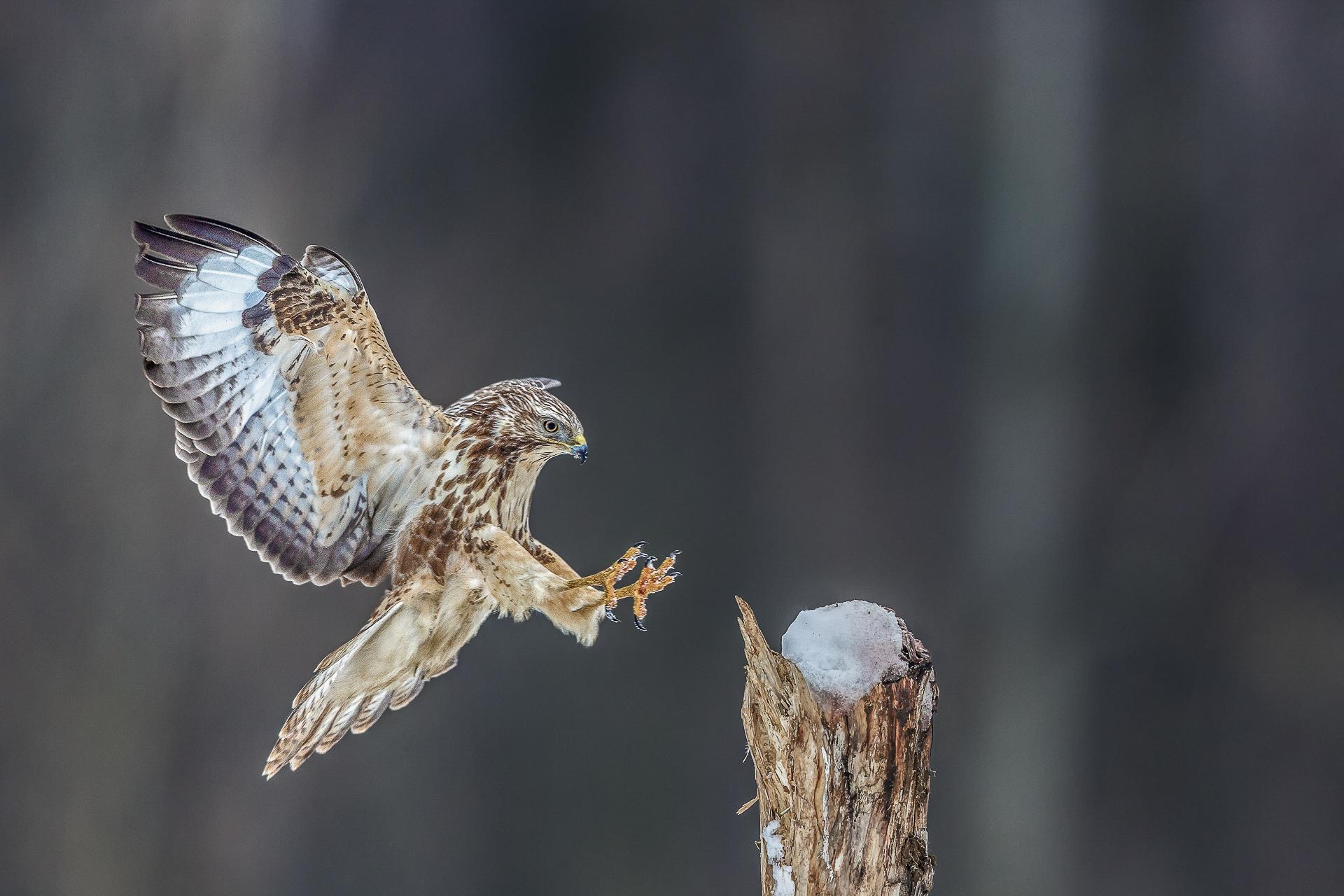 Bis zu 128 Zentimeter beträgt die Flügelspannweite vom Mäusebussard. Foto: Eric Dienesch