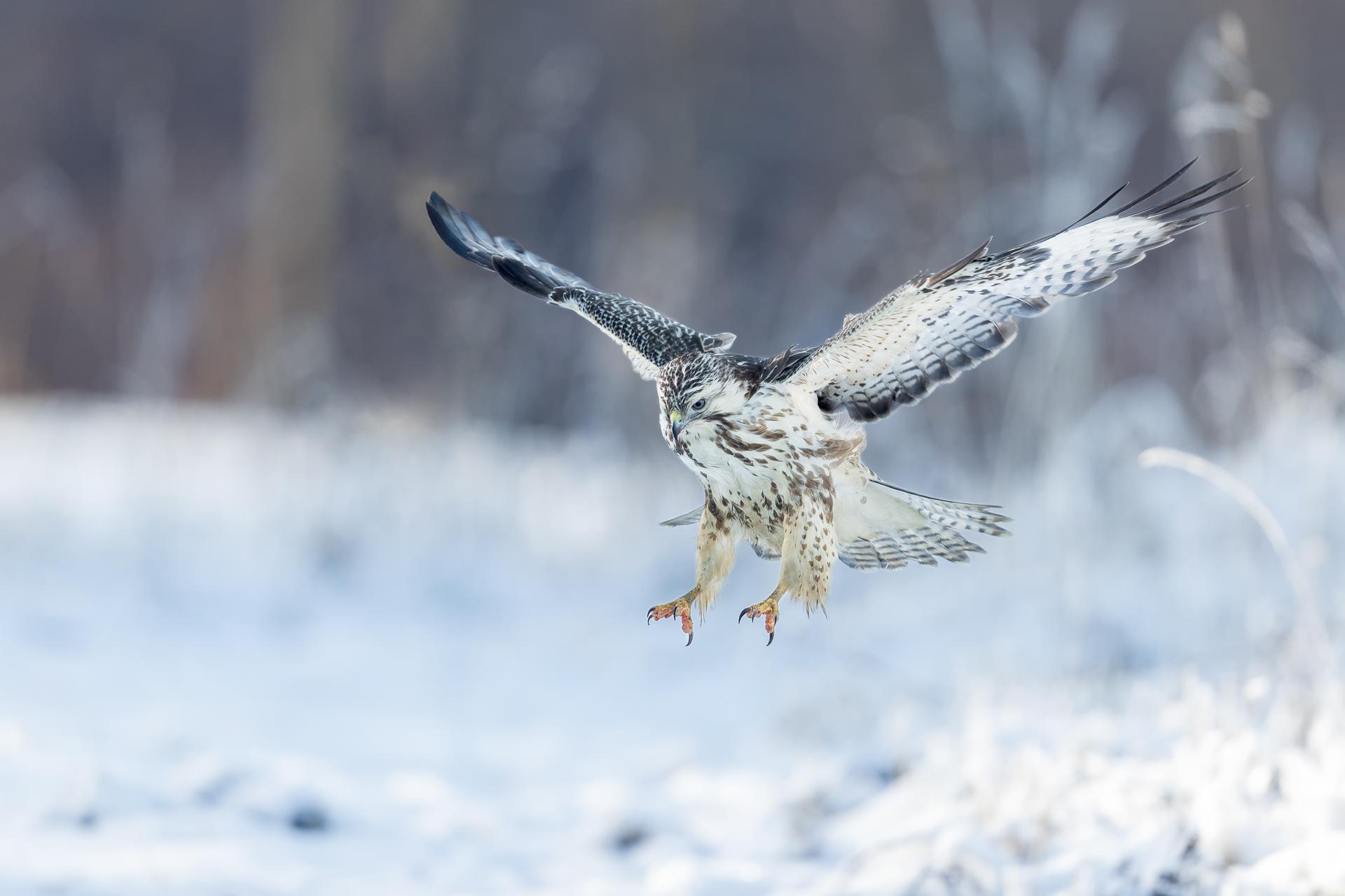 Der Bussard ist der weitverbreiteste Greifvogel, da er sich sehr gut anpassen kann. Foto: Eric Dienesch