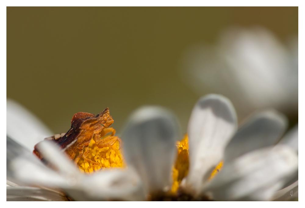 Punaise Phymata crassipes