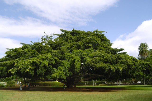 この木なんの木?気になる木(モンキーポッドの木です)