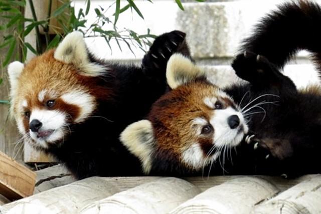 キュートなレッサーパンダ兄弟