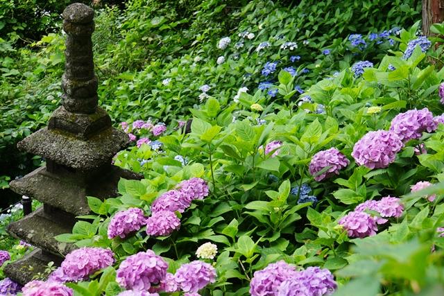 散策路の紫陽花2