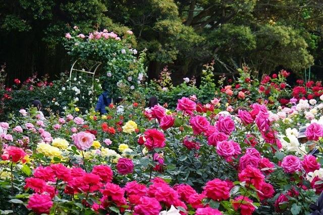 10) 庭園のバラたち