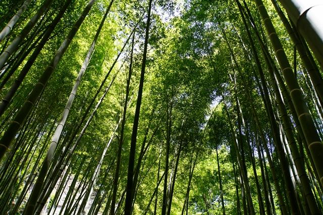 緑深い竹林を見上げてみました