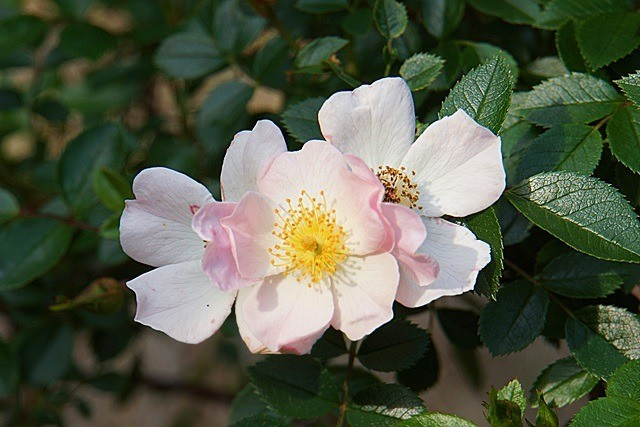11) 鎌倉生まれのバラ 「名付け親になってください」