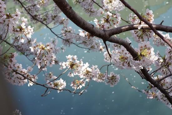 川面にに映える桜