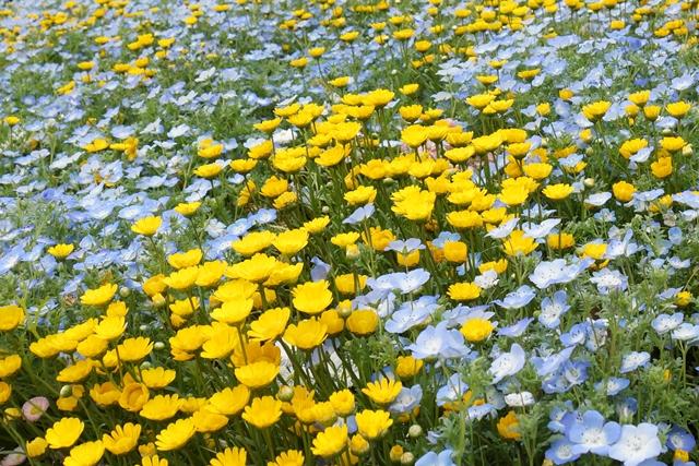 ネモフィラとカレンジュラ(黄色い花)