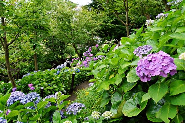 散策路の紫陽花1
