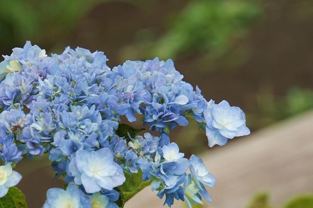 八景島20周年を記念して命名されたあじさい(八景ブルー)