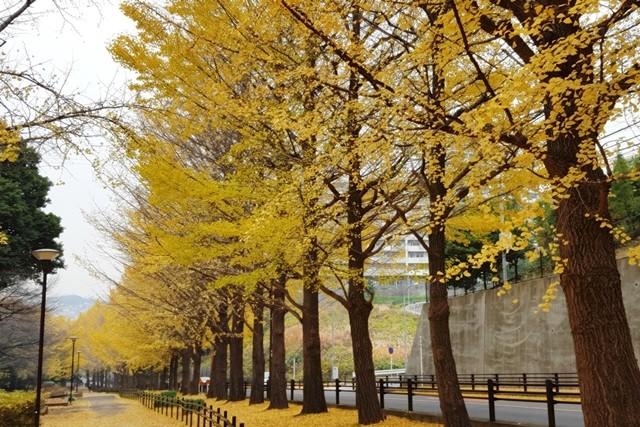 綺麗な黄葉を楽しませてくれた銀杏