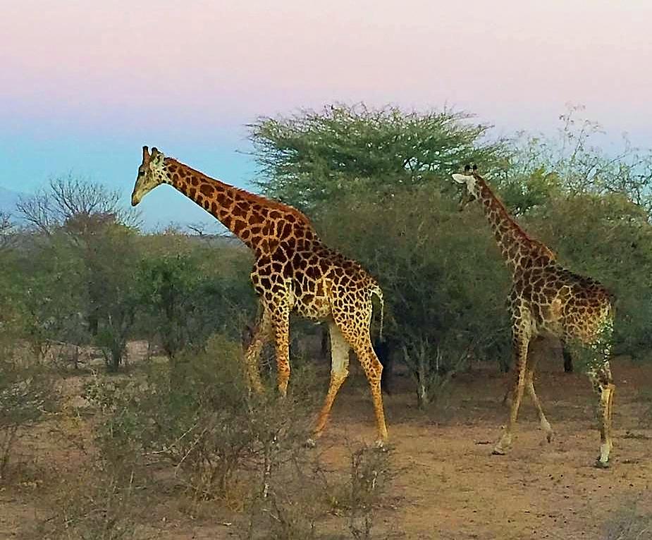 Girafes au petit matin