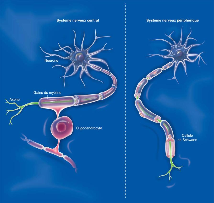 Systèmes nerveux central et périphérique