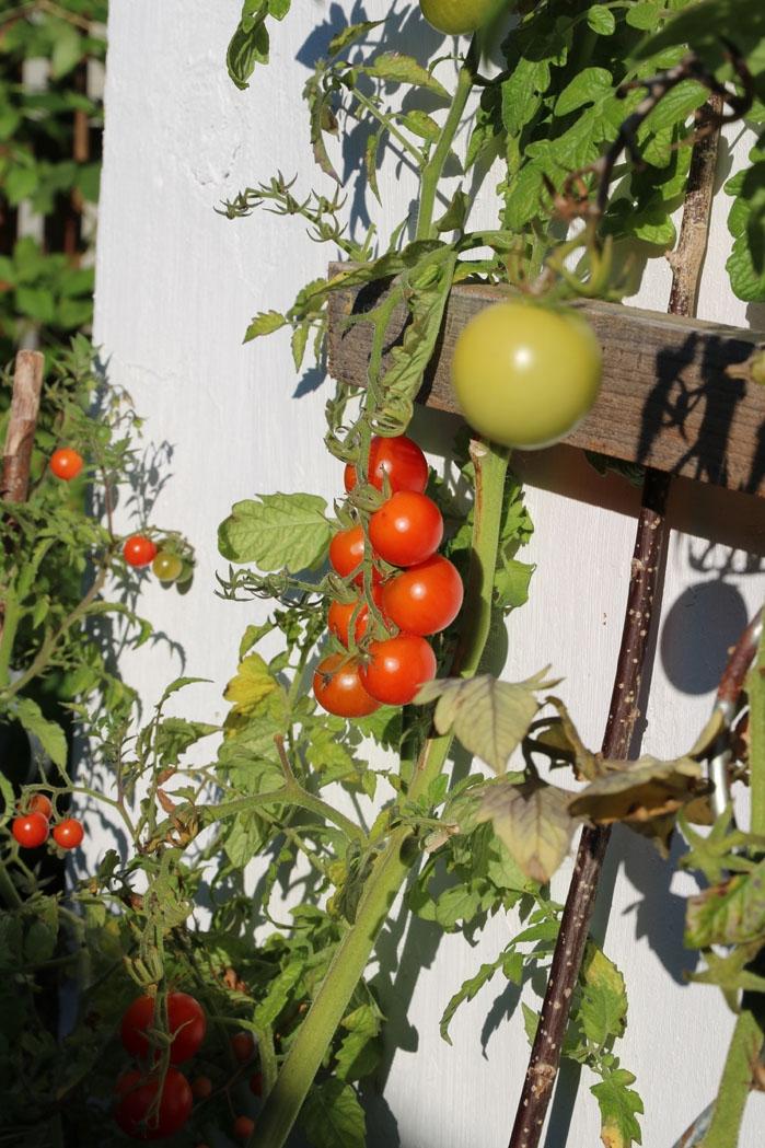 Die Südwand der Garage eignet sich hervorragend für Tomaten