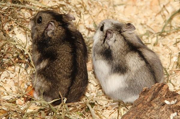 Hamster schwanger