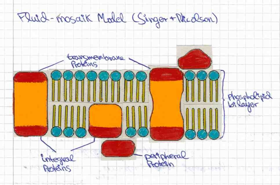 The Biomembrane - From Lipid Bilayer to the Fluid-mosaic Model ...