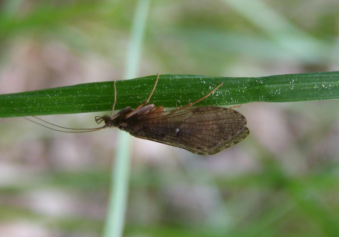 Köcherfliegenimago