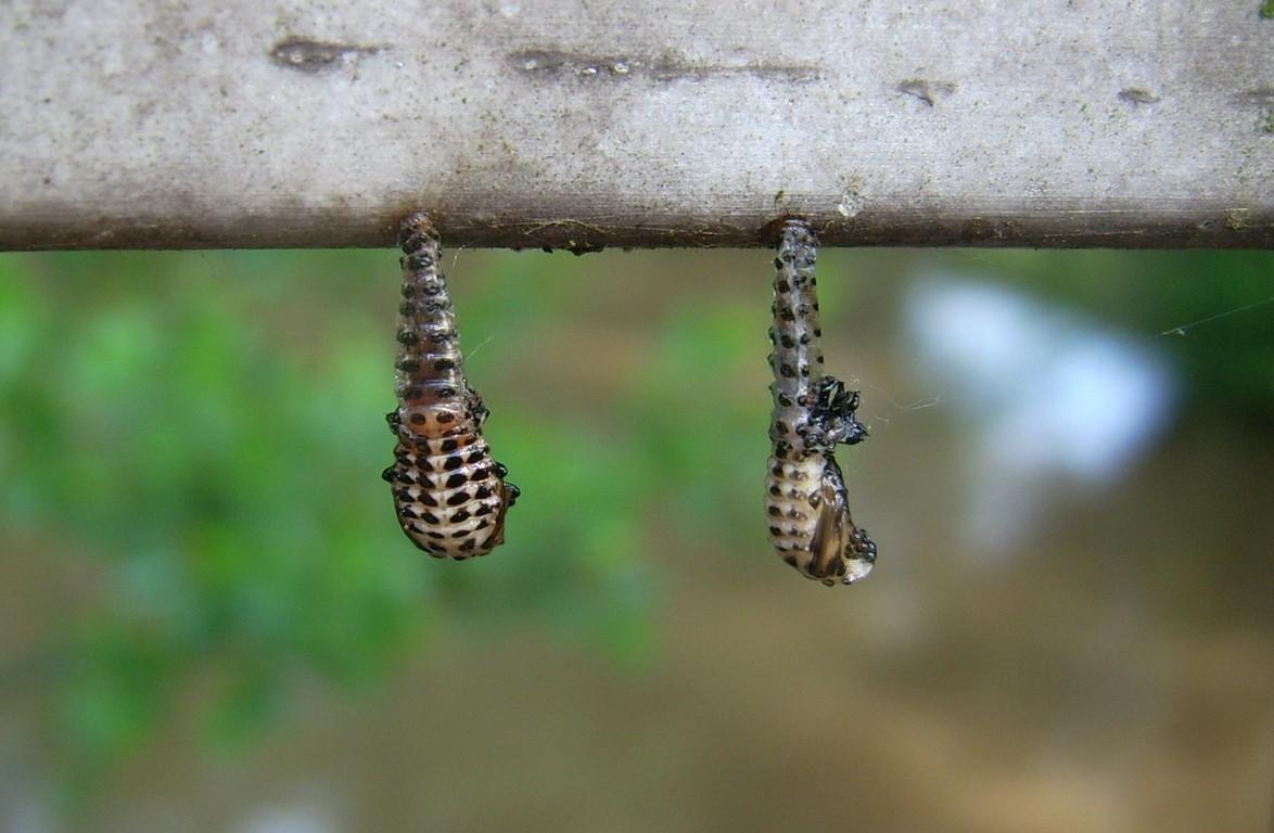 Käferpuppen