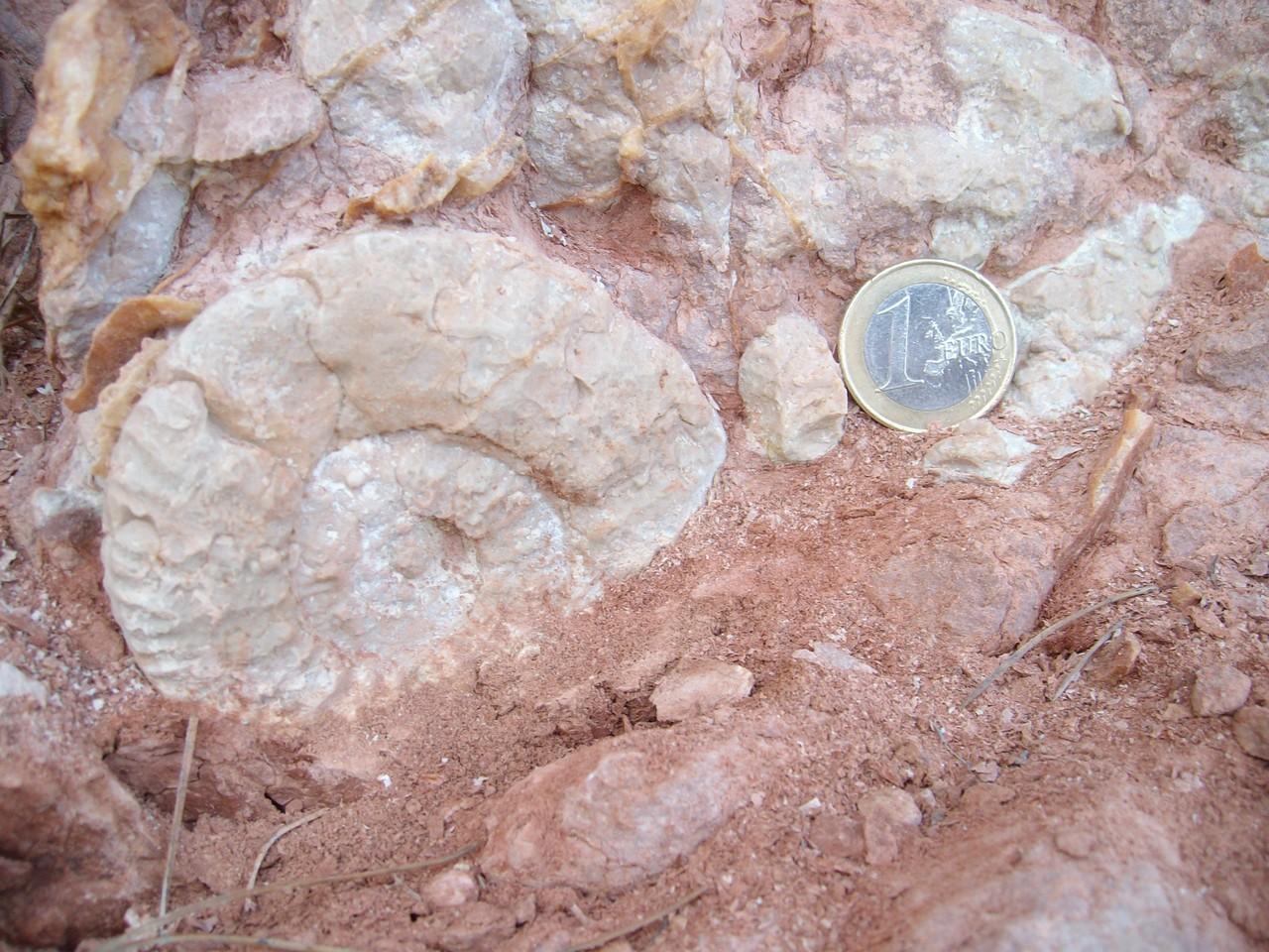 Ammonites del Ammonitico Rosso de Cap Negret