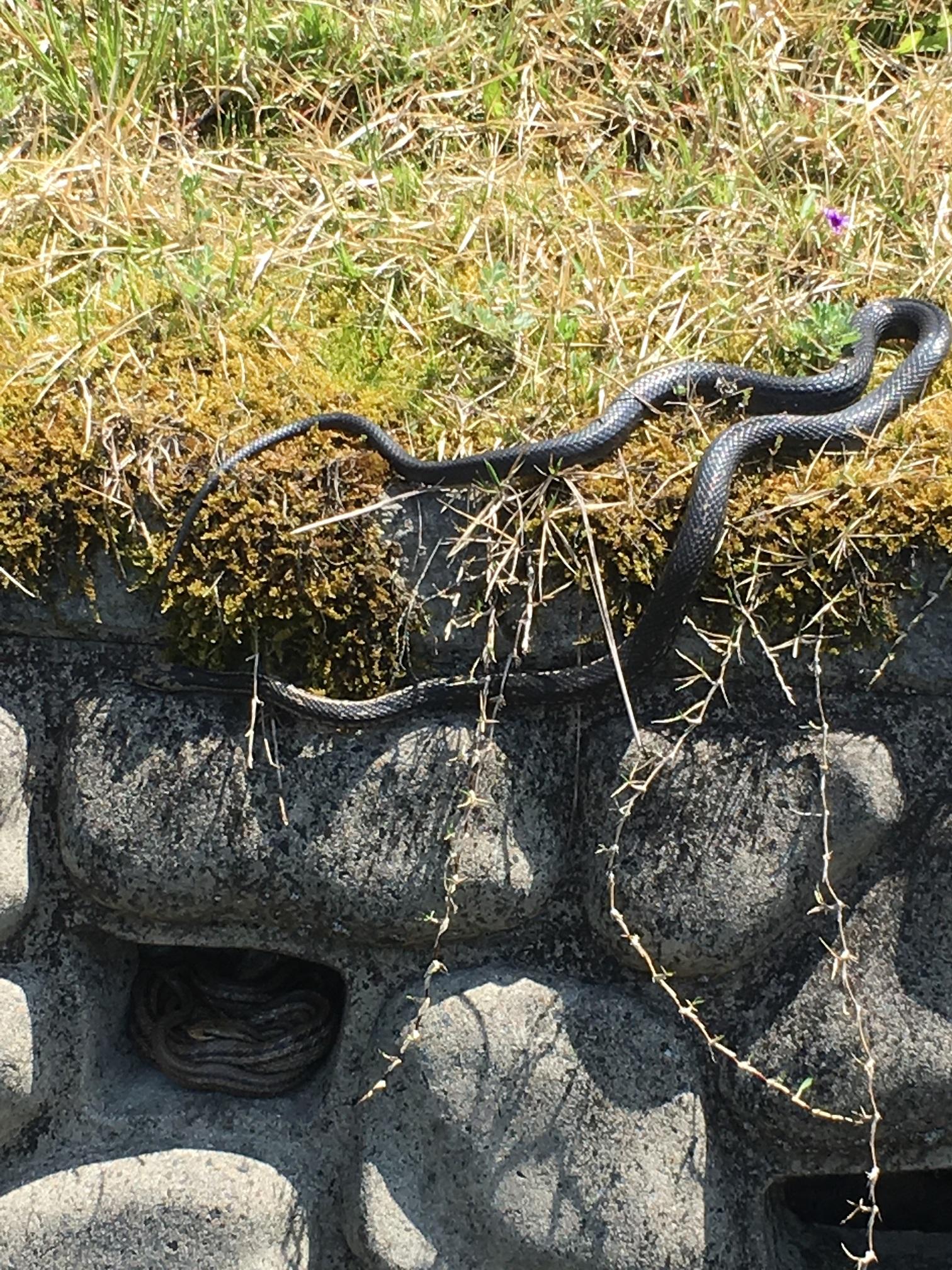 シマヘビ(普通種と黒変亜種)