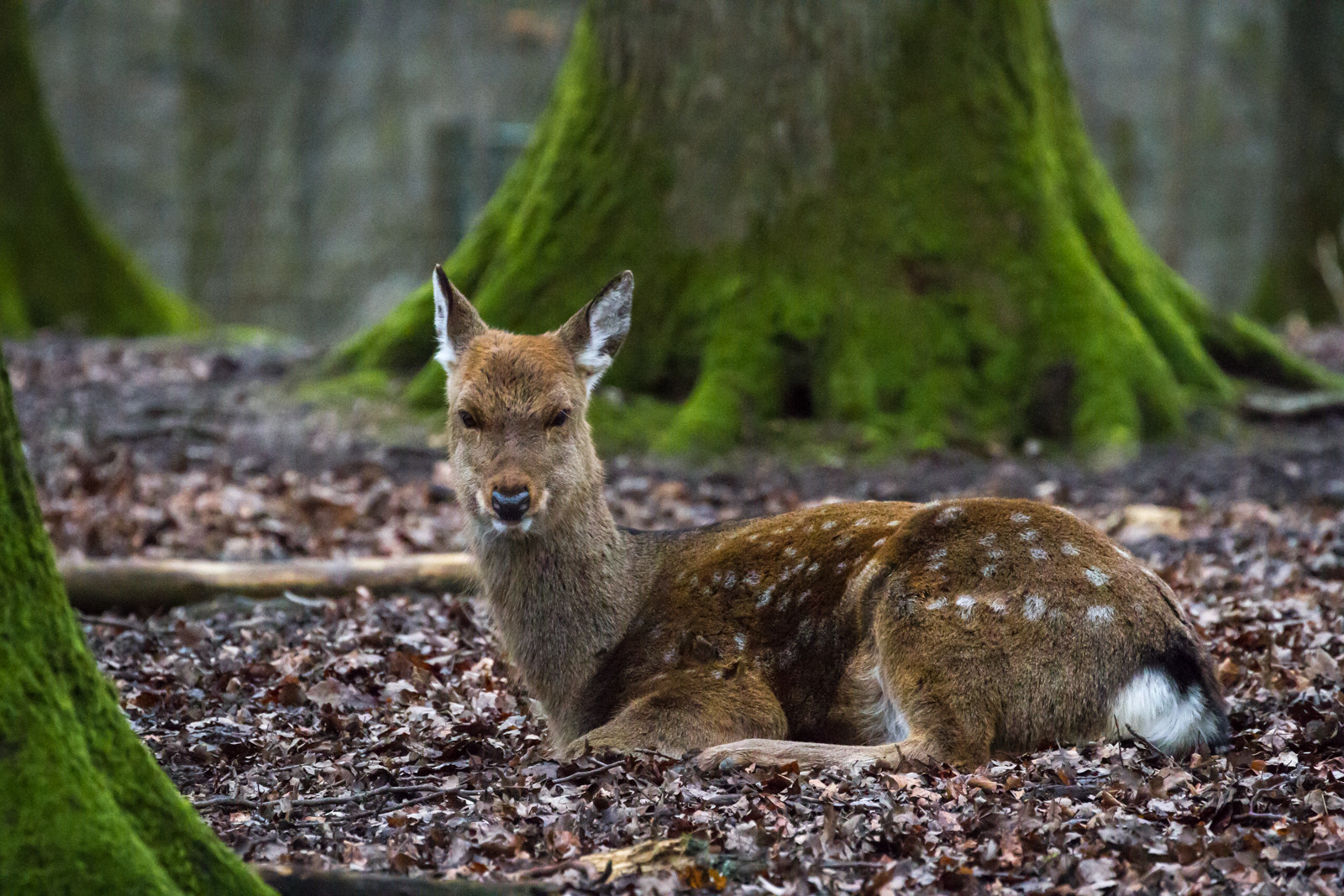 Freilaufendes Wild in grossen Teilen des Parks