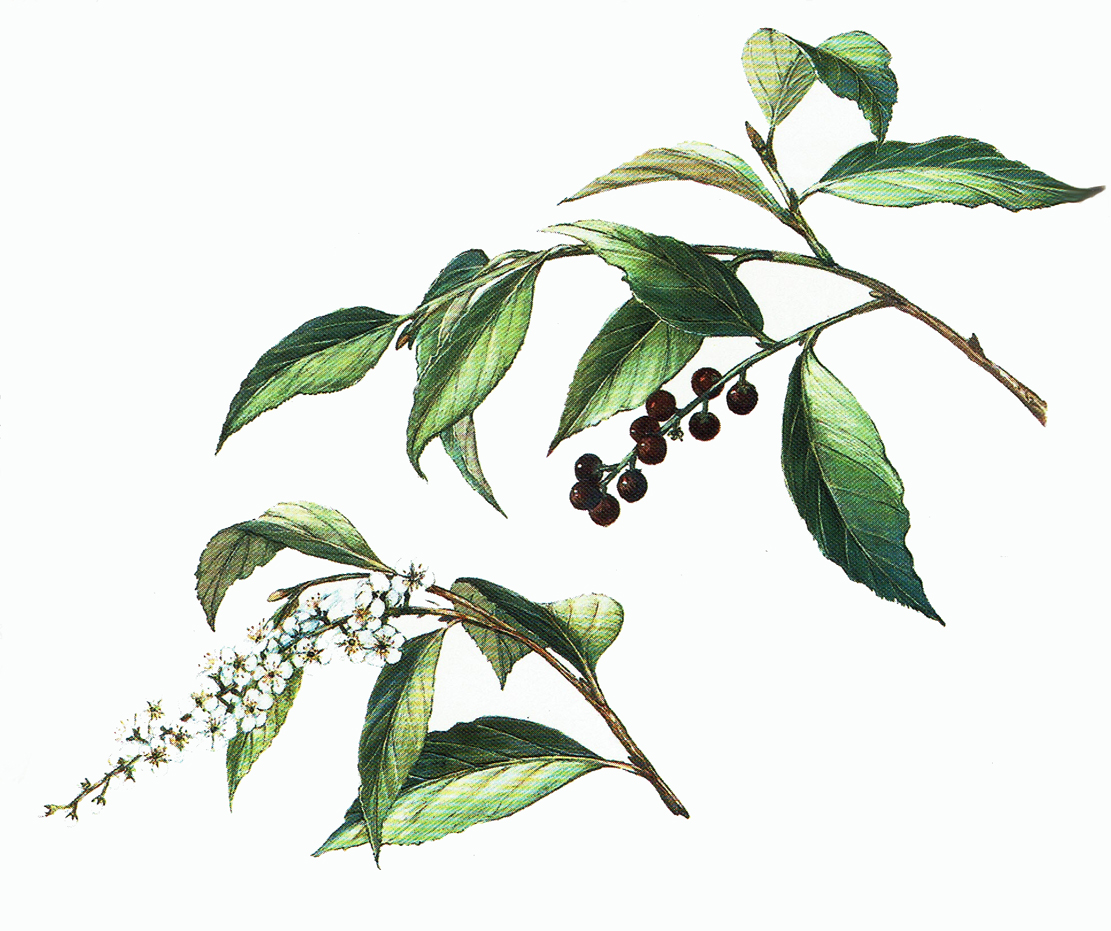 Botanik black cherry