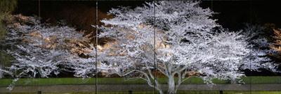 歴博エントランスより見える桜