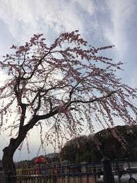 佐倉市中央公民館駐車場の枝垂れ桜 写真