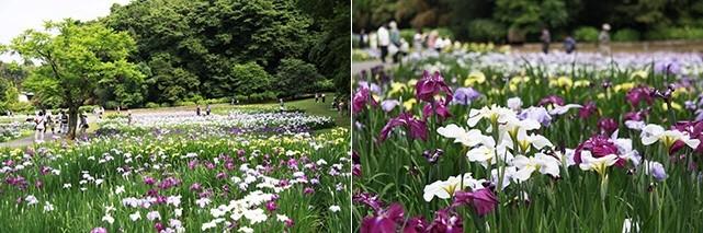佐倉城址公園の菖蒲 写真
