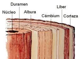 Fuente: sites google.com-Sección de un tronco